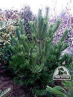 Сосна черная/австрийская (Рinus nigra) / Н 2.5 м/ ком