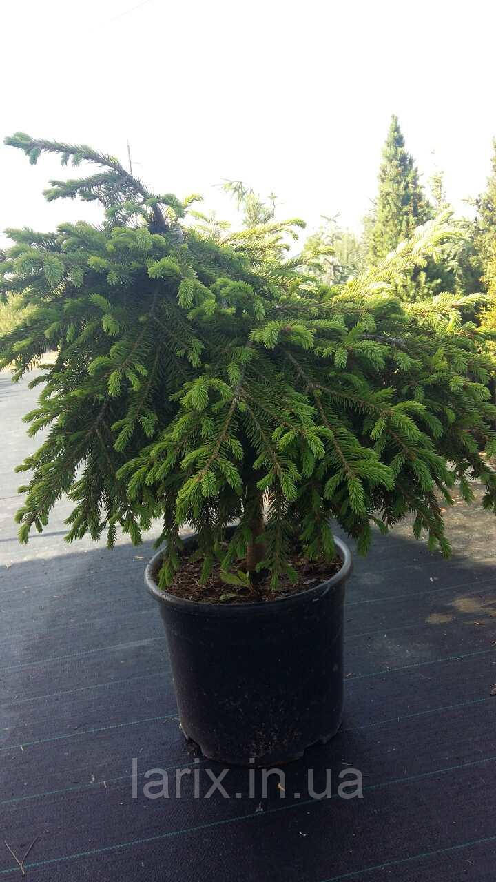 Ель обыкновенная Форманек Picea abies Formanek Pa 40 C 20