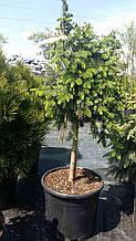 Ель Сербская Picea Omorika Pendula Bruns Pa 60 C 20