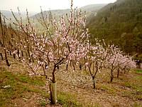 Будет ли урожай фруктов в Крыму?