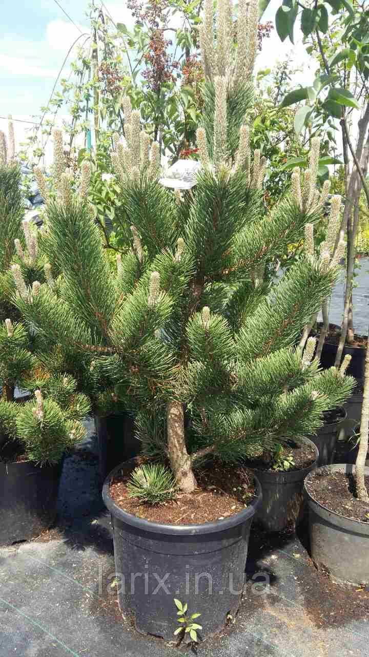 Сосна Орегон Грин Pinus nigra Oregon Green 160-180cm C20