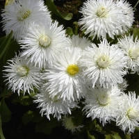 Маргаритка Хабанера, белая, 250 шт.