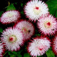 Семена цветов маргаритка Хабанера бело-красная 250 шт