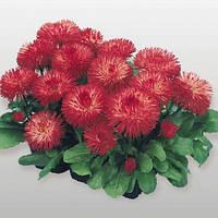 Семена цветов маргаритка Хабанера 250 шт красная