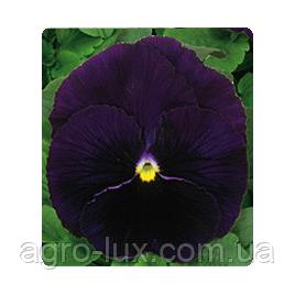 Фиалка Династия пурпурный 100 шт Китано