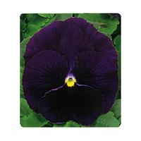 Фиалка Династия пурпурный 100 шт Takii Seeds / ТАКИ СИДС