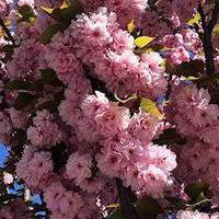 "Сакура ""Kanzan"" (Prunus serrulata)"