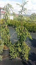 Ель  Инверса Picea abies Inversa