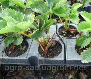 Как вырастить клубнику из семян в домашних условиях 42