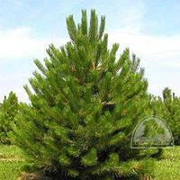 Сосна черная (австрийская) (Pinus nigra) /H 2.5м+ / ком
