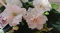 Фіалка (сенполія) ЛЕ - Серенада, листочок