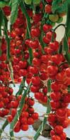 Семена томата Сакура F1 250 сем. Enza Zaden Organic