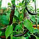 Семена Перец Чили Маленькая Жемчужина, фото 3