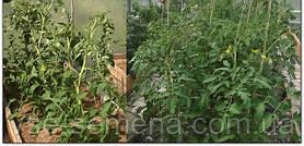 Недостаток элементов питания у томатов (помидор) и причины скручивания листьев