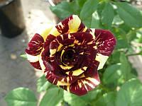 Роза чайно-гибридная Симсалабим / Simsalabim