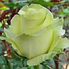 Роза чайно-гибpидная Капирина / Caipirinha