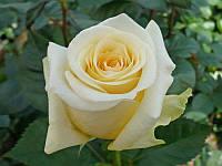 Роза чайно-гибридная Крем де ля Крем / Creme de la Creme