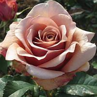 Роза флорибунда Мокароза / Mokarosa