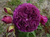 Роза флорибунда Пёпл Эден / Purple Eden