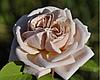 Роза плетистая Эш Венздэй /  Ash Wednesday