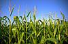 ГМО сорта составляют больше четверти мировых посевов