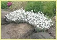 Ясколка, вечнозеленые растения, многолетние цветы, садовые цветы, вечнозеленый ковер