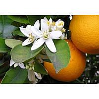 Померанец горький / (Citrus Aurantinum) снижение веса