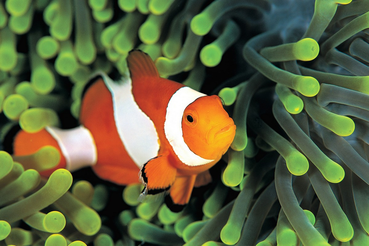 Фотообои: Рыба-клоун