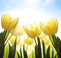 Фотообои: Жёлтые тюльпаны