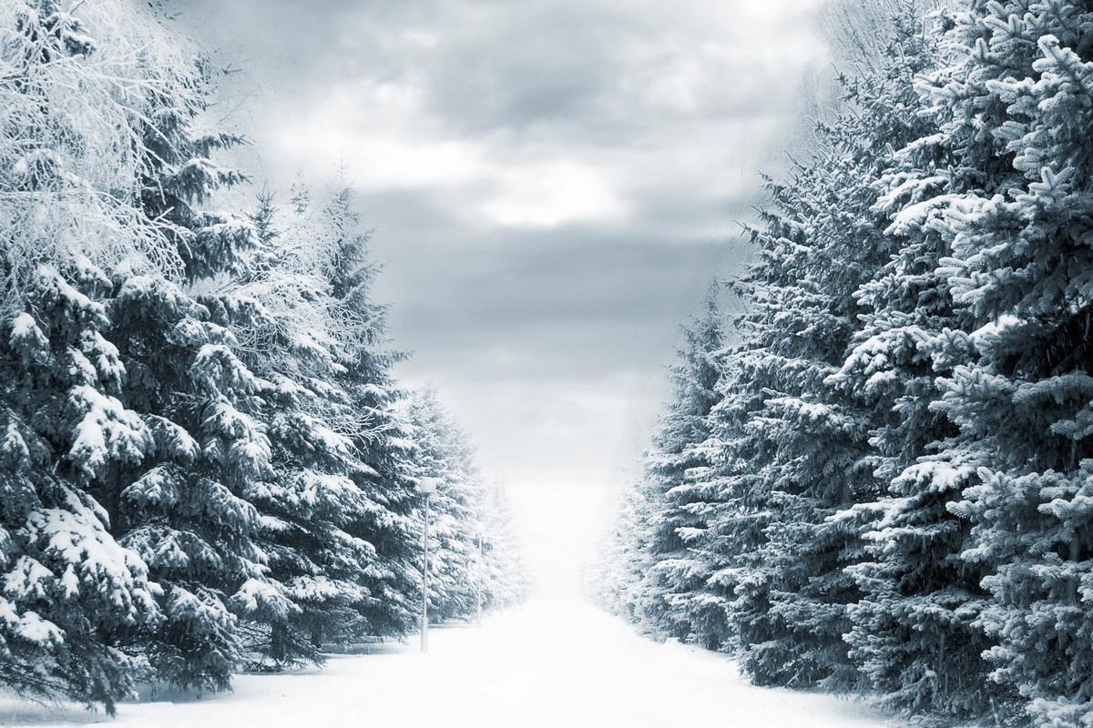 Фотообои Еловая аллея зимой