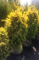 Туя западная Санкист (Thuja occidentalis Sunkist)