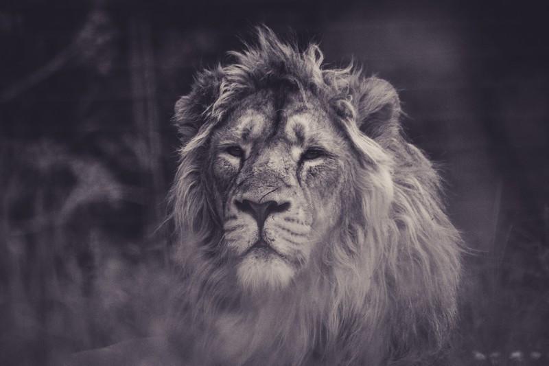 Фотообои Царь зверей