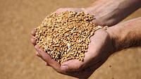 Индия не довольна качеством украинского зерна