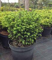 Picea omorika 'Karel' Ялина сербська,20-30см,C7.5-конт. 7.5л