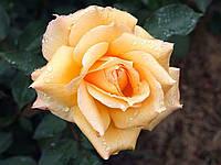 Роза Голден Элизабет