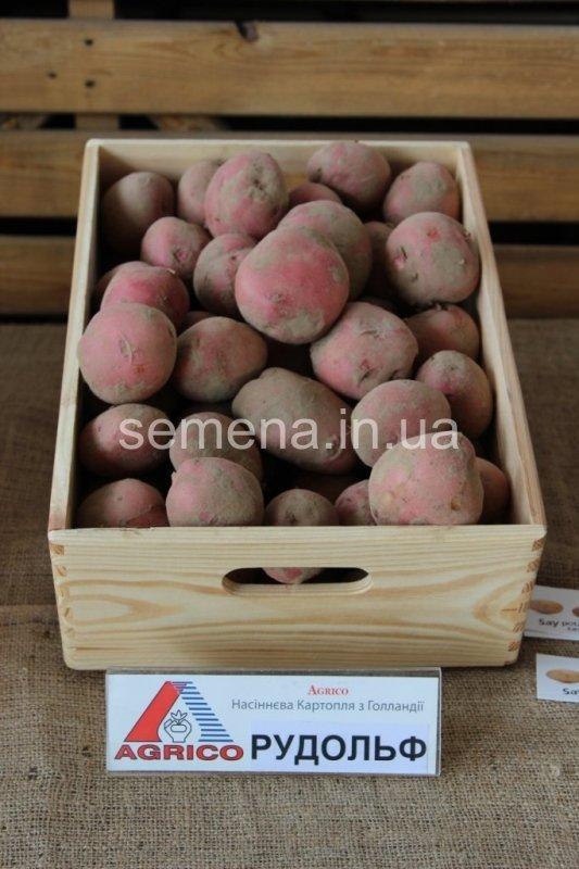 Картофель Рудольф  2.5 кг