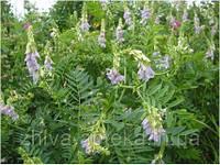 Козлятник лекарственный Galega officinalis (семена) 100г