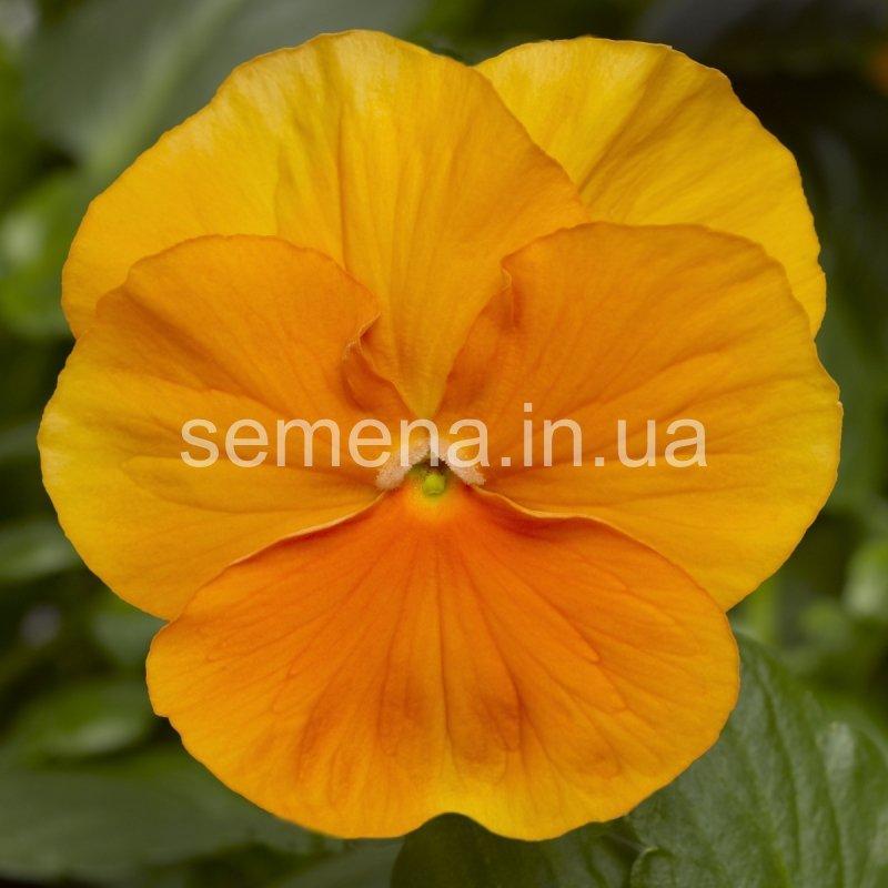 Виола Оранжевое чудо оранжевый 20 шт