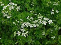 Кориандр посевной Coriandrum sativum L. (семена) 100г