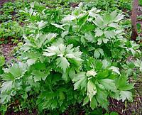 Любисток лекарственный Levisticum officinalis (семена) 100г