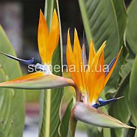 Стрелиция Стрелиция королевская Райская птица оранжевый 3 шт