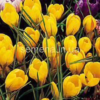 Крокус Giant Yellow  5 шт
