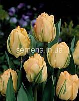 Тюльпан Akebono  2 шт