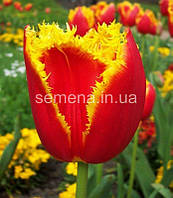 Тюльпан Lambada  2 шт
