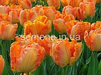 Тюльпан Apricot Parrot  2 шт