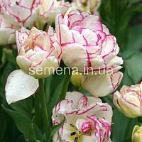 Тюльпан Belicia  2 шт