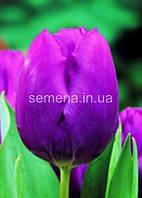 Тюльпан Purple Prince  2 шт