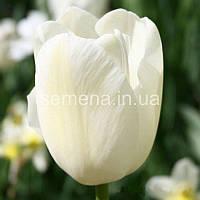 Тюльпан Тюльпан Maurren  2 шт