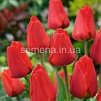 Тюльпан Apeldoorn  2 шт