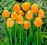 Тюльпан Beauty of Apeldoorn  2 шт